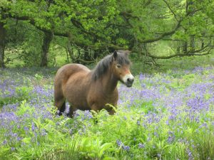 Pony among the bluebells at Neroche